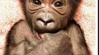 تولد بچه گوریل نادر در فلوریدا +عکس