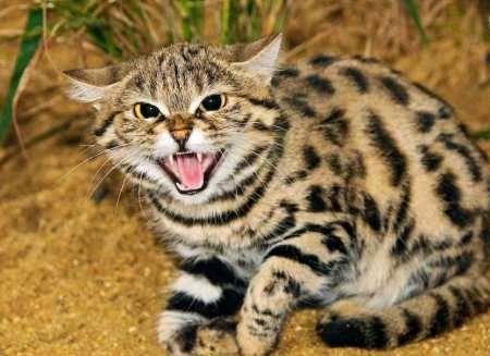 با اقدام به زنده گیری گربه وحشی زخمی به محیط زیست خرم آباد تحویل شد