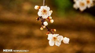 تصاویر شکوفه های بهاری زیبا که باید امسال از خانه ببینید